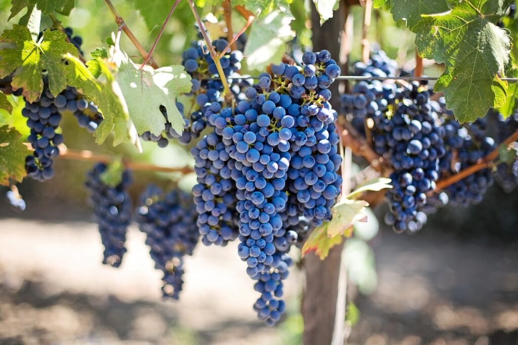 vineyards sardinia